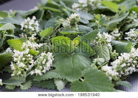 Melissa plant. Melissa leaf. Leaves and Melissa Flowers