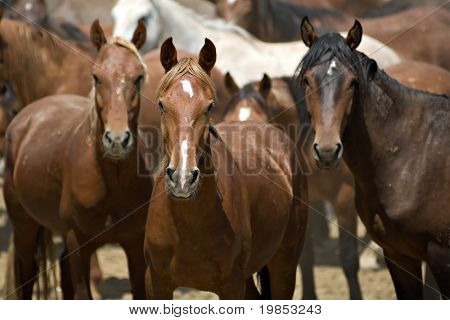 The leader of a herd of wild horses stands guard poster