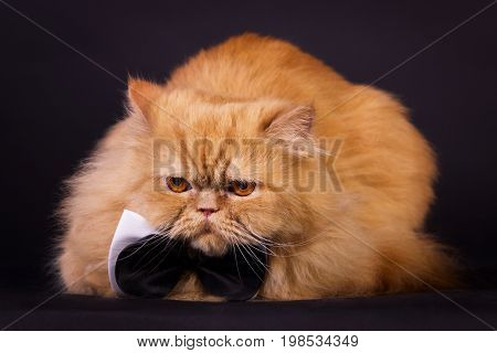Cat With Bow Tie