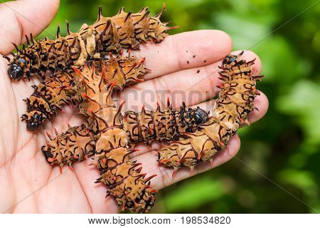 Golden Birdwing (troides Aeacus) Caterpillars