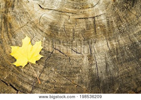 Yellow autumn maple leaf on the background of the stump. Hello autumn. there is a Place for text