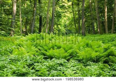 Summer in the forest a large clearing with a beautiful fern on the background of trees