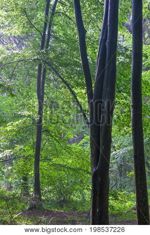 Misty deciduous stand in morning rain after with tree in foreground, Bialowieza Forest, Poland, Europe
