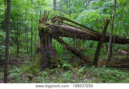 Big old spruce tree broken and another one tree moss wrapped hanging over stump, Bialowieza Forest, Poland, Europe