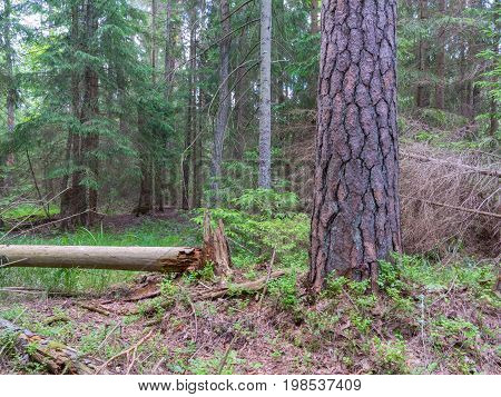 Old pine tree in summer, Bialowieza Forest, Poland, Europe