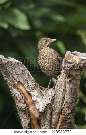 Juvenile Black Bird Turdus Merula Fledgling In Tree Stump In Forest Landscape Setting