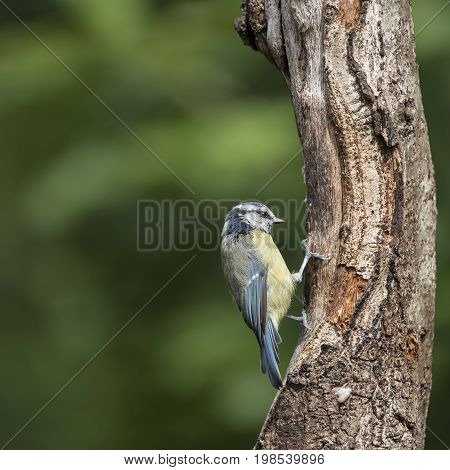 Beautiful Blue Tit Cyanistes Caeruleus On Tree In Woodland Landscape Setting