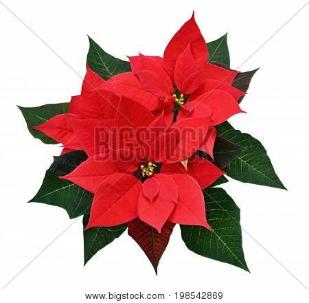 Red Christmas poinsettia flowers isolated on white