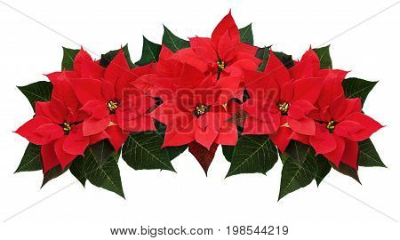 Poinsettia flowers wave arrangement isolated on white