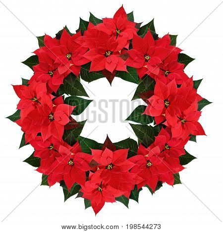 Christmas poinsettia flowers wreath isolated on white