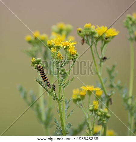 Bright Orange And Black Cinnabar Moth Caterpillar Tyria Jacobaeae On Summer Plants In Meadow