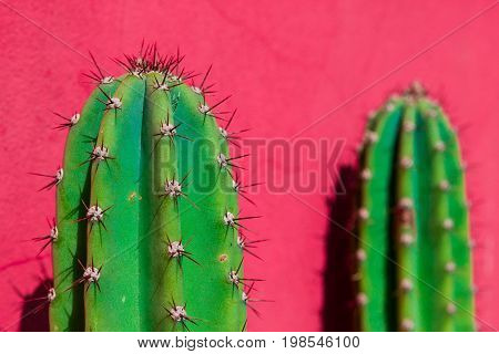 Upper extremity of two cacti replete with long spines on a pink wall.