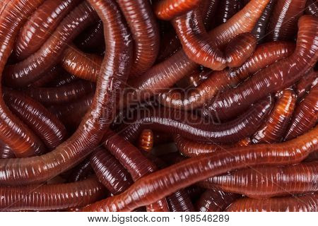 Animal earth worm background. Pink Ringworms close up.