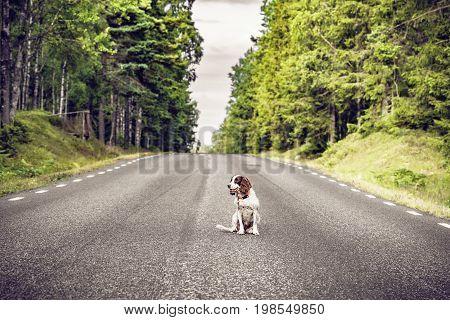 Dog On An Empty Asphalt Road