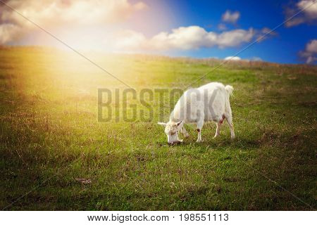 White Goat Eating Grass On A Mountain Meadow.