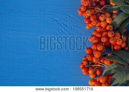 Berries rowan on a wooden blue table.