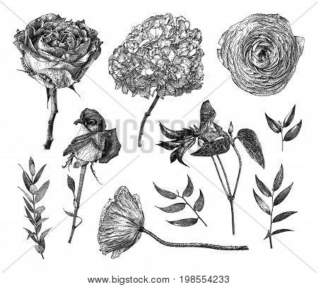 Vector illustration with set of Clematis Pion-shaped rose Hybrid tea rose Hydrangea branches and leaves drawn by hand. Graphic drawing pointillism technique. Botanical natural collection. Black and white floral element isolated on white