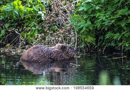 Beaver swimming in the water in the river