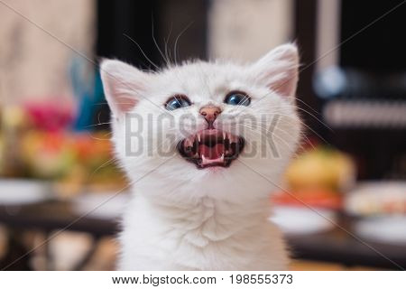 White British kitten pet with shorthair meows and looks up while asking for food. Color silver shaded. Little cute cat with blue eyes, indoor animal portrait