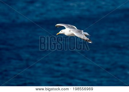 Single Seagull Flying Bird with Open Wings on Clear Blue Sea as Background, soaring in strong wind
