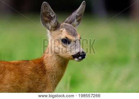 Baby roe deer on green summer meadow