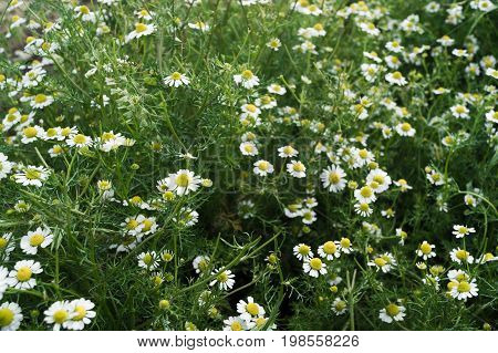 Flowers of chamomiles grow on the field