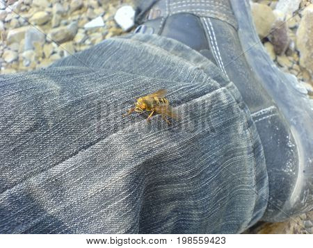 The Gadfly Sat On The Human Body. Gadfly Bloodsucking Insect
