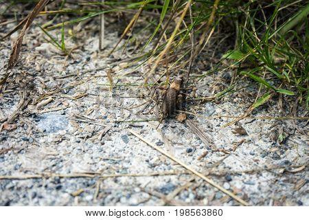 big insect chorhippus brunneus on stone path