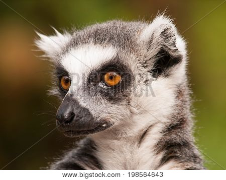 Portrait of Ring-tailed lemur - Lemur catta