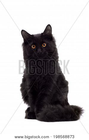 Black Maine Coon cat isolated on white background