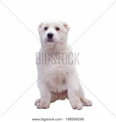 Portrait of a white middle-Asian Shepherd, puppy, isolated on white