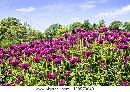 Monarda common names Bee Balm and Bergamot in herbaceous border of a garden.