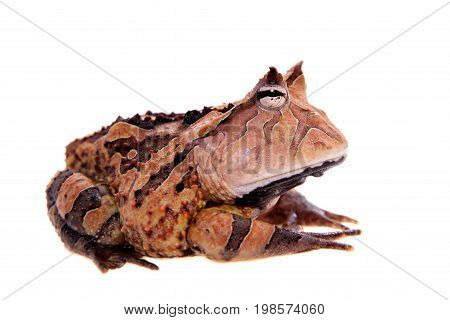 The Surinam horned frog, Ceratophrys cornuta, isolated on white background