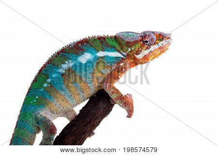The panther chameleon, Furcifer pardalis isolated on white background