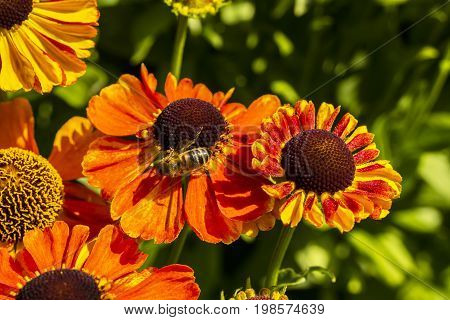 Orange cone flowers (Rudbeckia) close-up in garden with a honey bee.