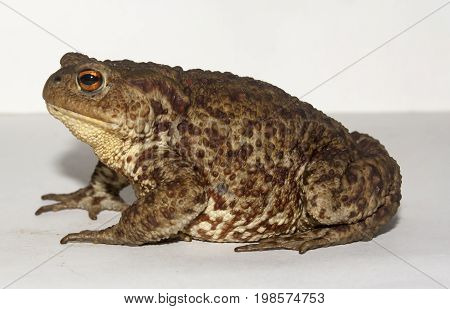 the ground toad closeup on white background