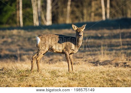 Side view of a female Roe deer standing on a yellow field in the sunshine looking at photographer.