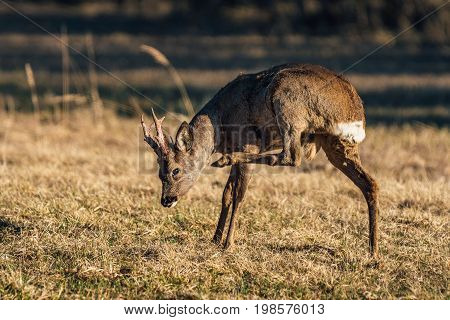 Male roe deer scratching his neck with his back leg