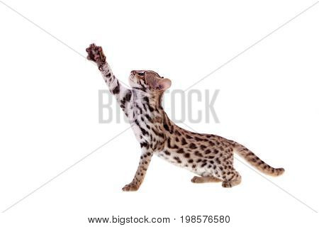 Asian leopard cat, Prionailurus bengalensis, isolated on white