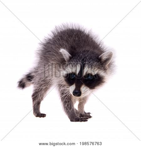 Baby raccoon - Procyon lotor in front of a white background