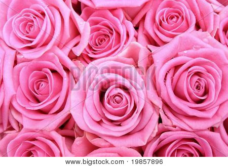 Pink rose background.