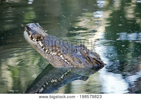 the salt water crocodile has risen out of the water waiting to pounce