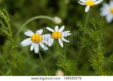Flower of a Roman chamomile Chamaemelum nobile.