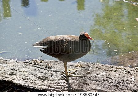 the dusky moorhen is resting on a log