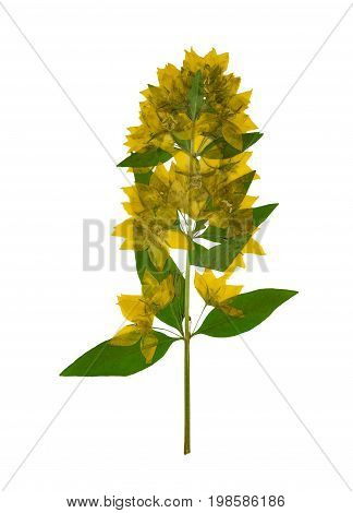 Pressed and dried flowers loosestrife (lysimachia) with green leaves isolated on white background. For use in scrapbooking floristry (oshibana) or herbarium.