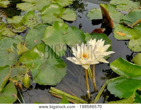 Waterlily in the pond. Beautiful waterlily in the pond