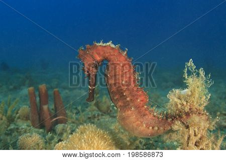 Pregnant Thorny Seahorse. The male seahorse carries the young in a pouch