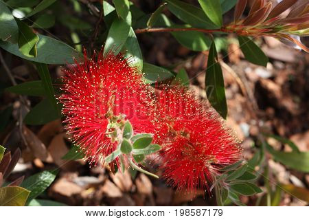 This is an image of a red bottle brush flower taken in Carmel, California on a bright summer day.