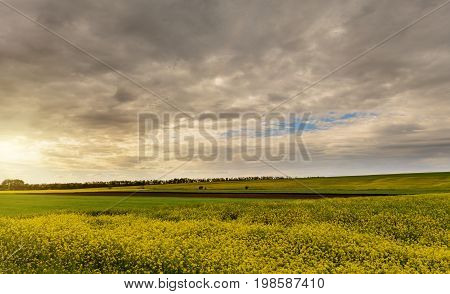 Field of bright yellow rapeseed in spring. Rapeseed oil seed rape