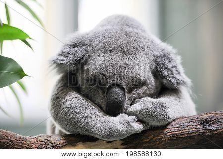 Sleeping Koala In The Daisy Hill Koala Centre